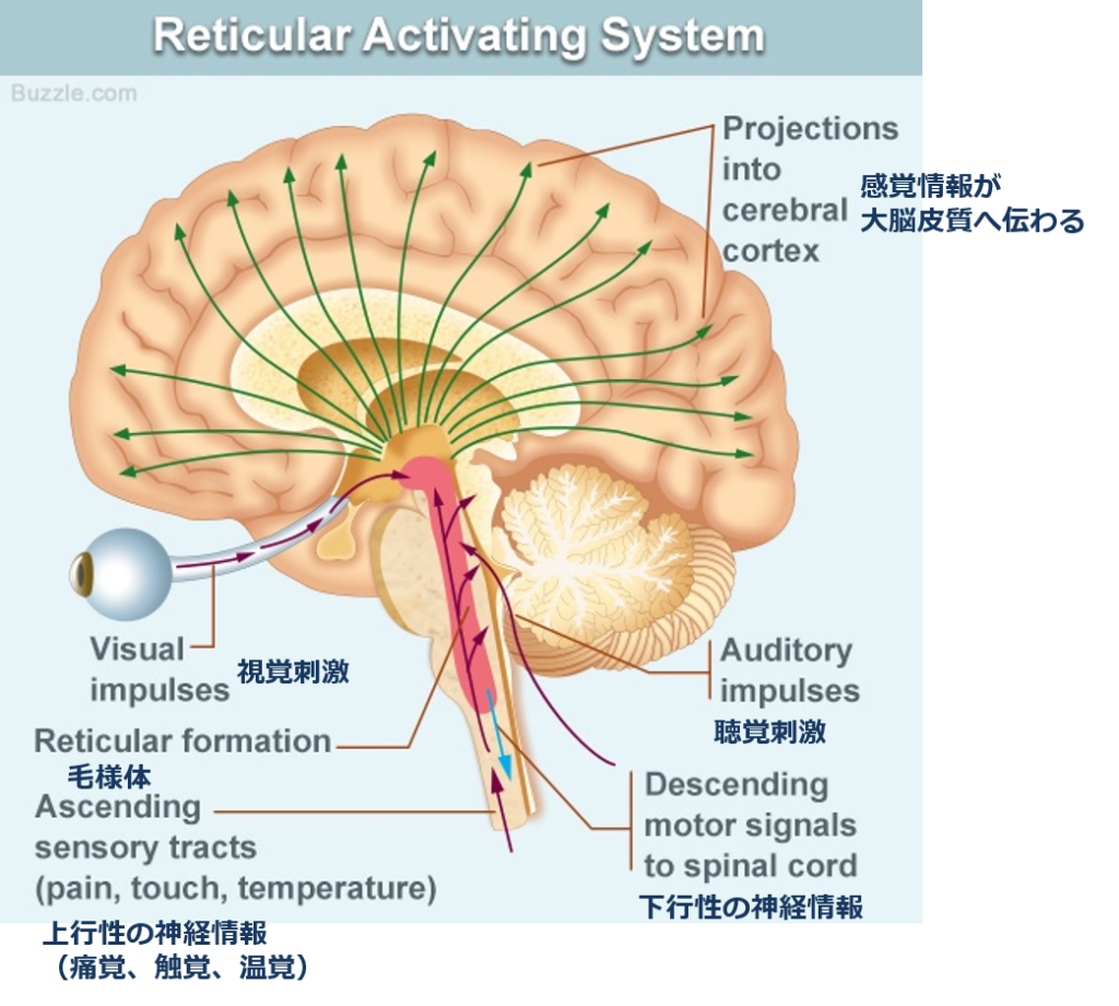 RAS(Reticular Activating System)の解説図