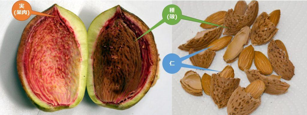 アーモンドの実 食べる部分を表した写真